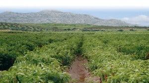 cosecha-pimenton