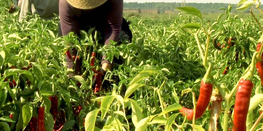 cosecha y recogida de pimenton de la vera