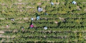 recogida pimenton en campo