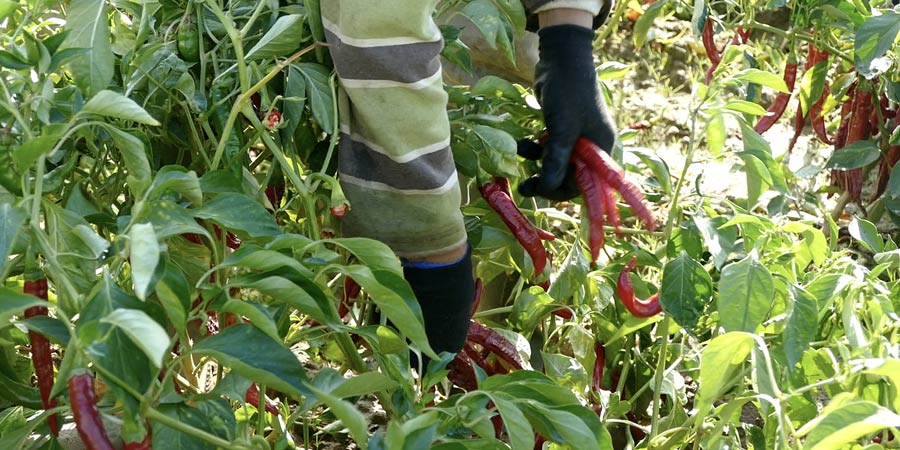 cosecha de pimenton